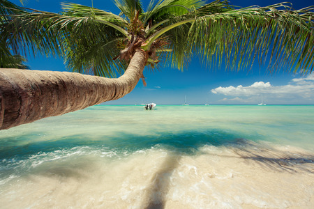 republic dominican: Beautiful palm tree over caribbean sea