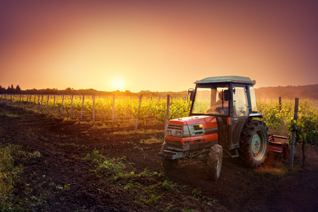 Vines on the field and a red tractor at sunset