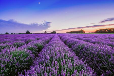 flor violeta: Salida y dramáticas nubes sobre Campo de la lavanda Foto de archivo