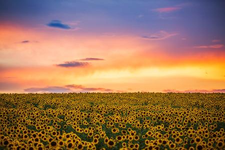 campo de flores: Campo de girasoles en flor en un fondo de la puesta del sol