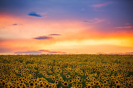 champ de fleurs: Field of blooming sunflowers on a background sunset Banque d'images