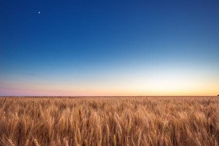 cosecha de trigo: Campo de trigo de oro y cielo azul en la puesta del sol