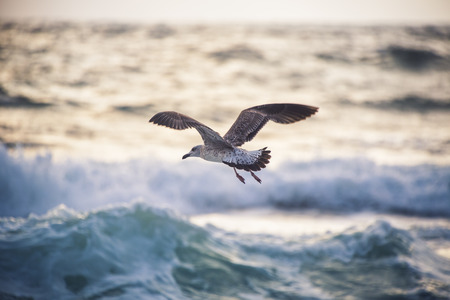 tranquil: Flying seagull over the blue sea on sunrise