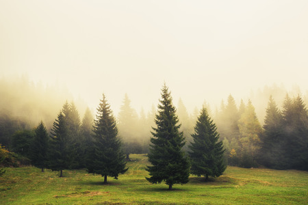 pine green: Beautiful green pine trees, foggy morning