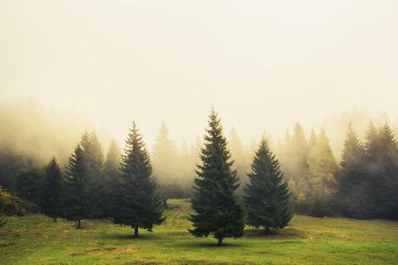 Hermosos árboles de pino verde, niebla por la mañana