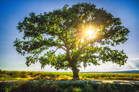 Big green tree in a field, sunset shot Stock Photo