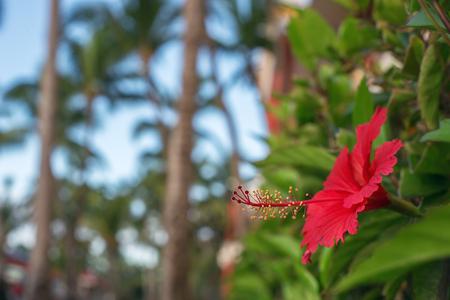 dof: Hibiscus Flower. Shallow DOF