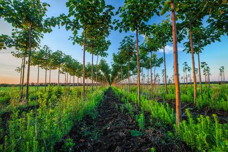 tree plantation: Pretty woodland, paulownia tree plantation Stock Photo
