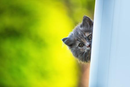 grey cat: Grey little cat looking through the window