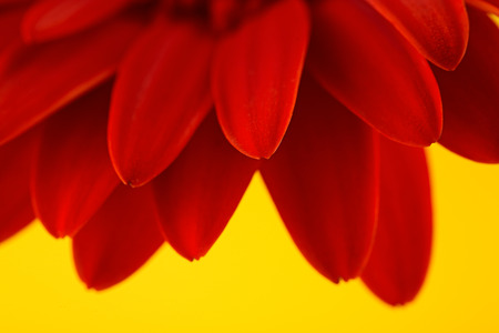 yellow gerbera isolated on: Red gerbera flower isolated over yellow background Stock Photo