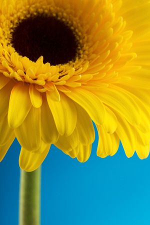 yellow gerbera isolated on: Beautiful yellow gerbera flower isolated over blue background