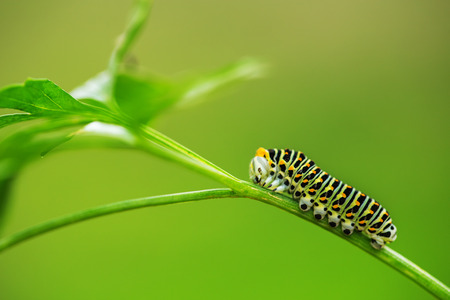 climbing plant: Beautiful green caterpillar creeps on a green plant in the garden