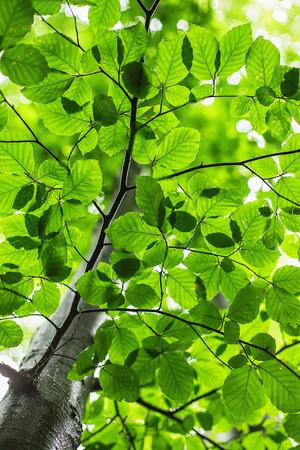 feuille arbre: feuilles vertes fra�ches sur l'arbre. concept de temps de printemps. Banque d'images