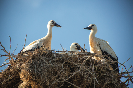 home birth: Stork with baby birds in the nest