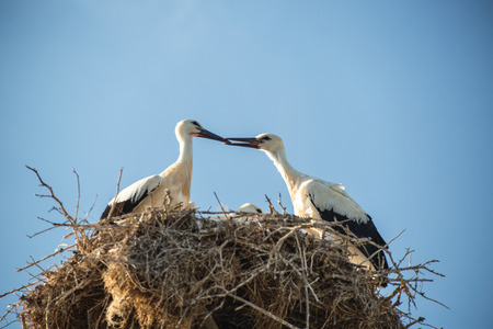 home birth: Young white storks on the nest Stock Photo