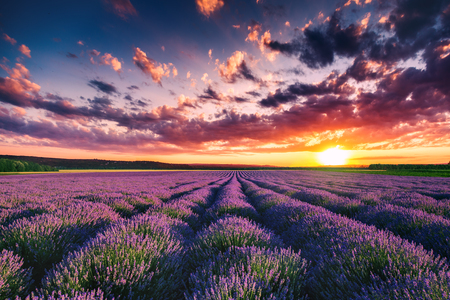 flowers field: Lavender flower blooming fields in endless rows. Sunset shot. Stock Photo