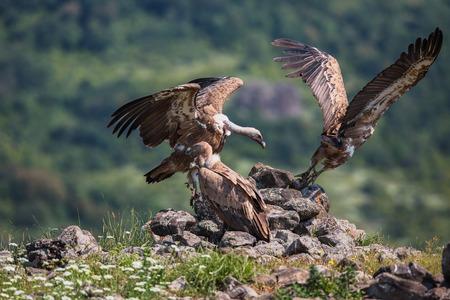 gyps: Griffin Vulture (Gyps fulvus) in Wildlife Reserve Madjarovo, Bulgaria
