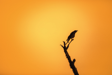 jackdaw: Jackdaw on branch over sunrise background