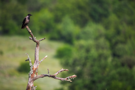 jackdaw: Jackdaw on branch over green background Stock Photo