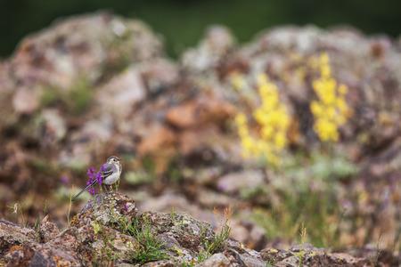 motacilla: Vista de la hermosa alba Motacilla aves.