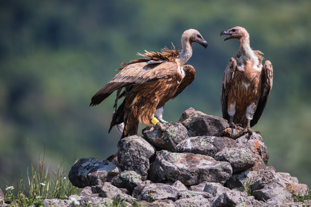 overseeing: Griffon Vulture in a detailed portrait, standing on a rock overseeing his territory