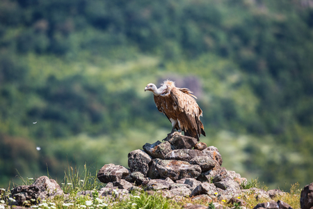 Griffon Vulture in a detailed portrait, standing on a rock overseeing his territory