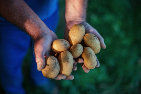 harvest field: Hands holding fresh organic potatoes, agriculture concept
