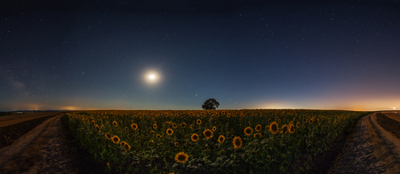 deep blue: Stars and the moon on a field of sunflowers, night shots