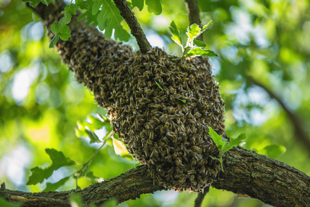 swarm: Honeybee swarm hanging at the tree in nature Stock Photo