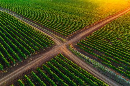 ヨーロッパのブドウ畑の美しい日の出。