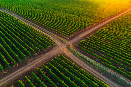 A Beautiful Sunrise over vineyard in Europe. Reklamní fotografie