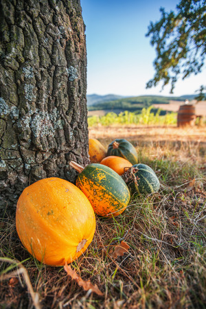 Pumpkin field with ripe green and yeallow pumpkins near tree. Stock Photo