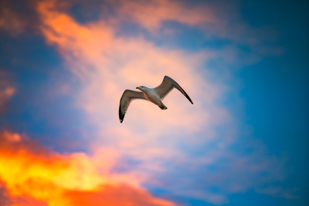Flying seagull in sky with clouds. Sunset shot