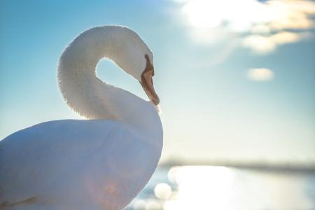 White swan in the sea,sunrise shot Banco de Imagens