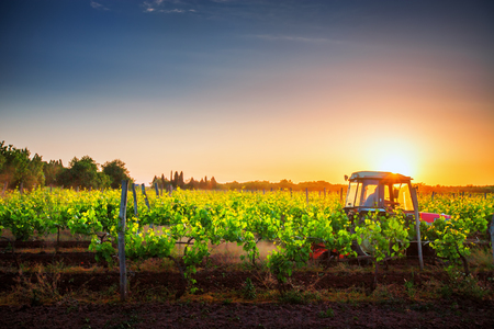 Vines on the field and a red tractor at sunset.