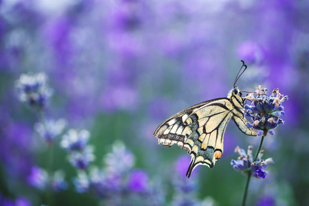 Lavender flowers with buterfly.