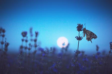 Lavender flowers with butterfly against full moon, sunset shot Stock fotó