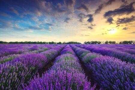 Lavender flower blooming fields in endless rows. Фото со стока
