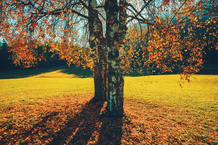 Autumn trees and orange leaves . Fall. Autumnal Park. Autumn scene. Reklamní fotografie
