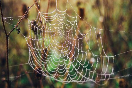 Spinnennetz mit morgendlichen Tautropfen, Nahaufnahme.