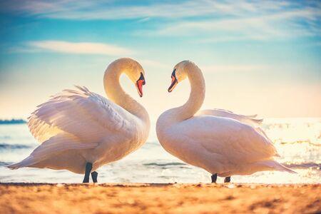 Heart shape love symbol from two white swans. Imagens