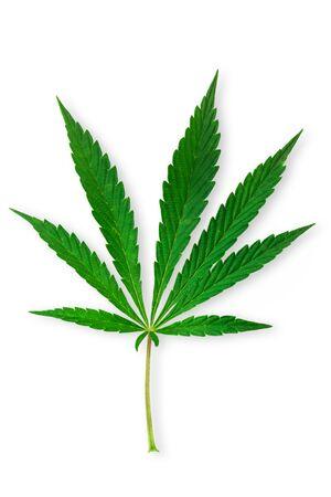 Cannabis, marijuana leaves isolated on white