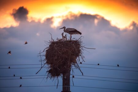 Storks feeding babies in a nest against sunset sky with clouds