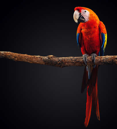 Macaw Parrot isolated on black background