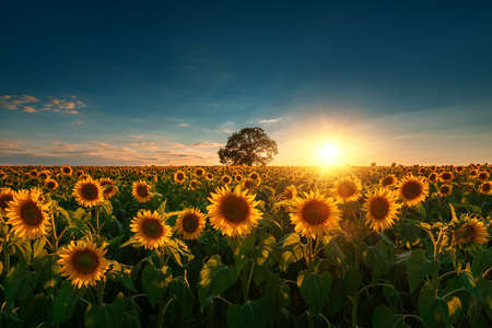 Field of blooming sunflowers and tree on a background sunset. Stok Fotoğraf