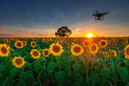 Flying drone and sunflower wheat field Stok Fotoğraf