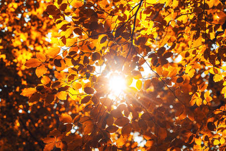 Shining sun  through a fresh yellow leaves of the maple tree in autumn.