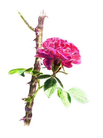 rosebush: Red rose with leaves on a rosebush branch  Isolated  Stock Photo