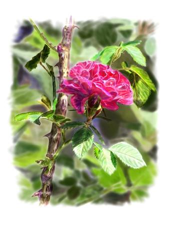 rose-bush: Czerwona róża z liśćmi na gałęzi krzak róży w tle