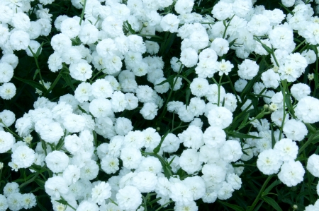 Decorative small white flowers for the preparation and presentation of bouquets